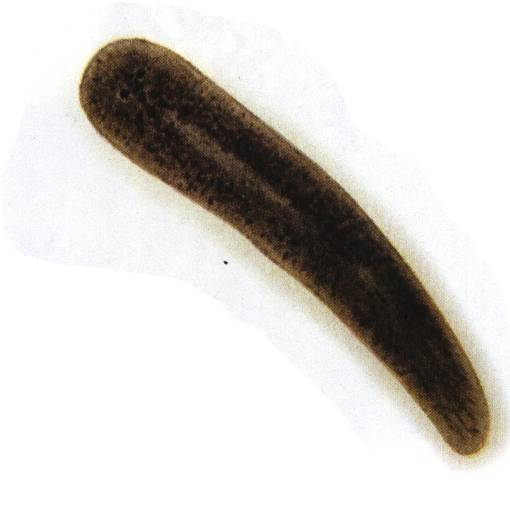 涡虫结构示意图