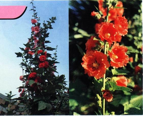 qq农场向日葵几季_锦葵科蜀葵属多年生草本植物