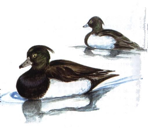 凤头潜鸭,Aythya fuligula Linnaeus,音标,读音,翻